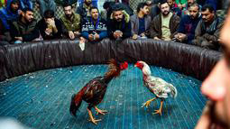 Trik Cara Main Sabung Ayam Online Supaya Menang