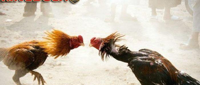 Situs Bermain Judi Sabung Ayam Online